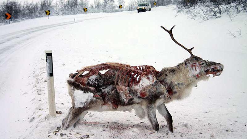 Zombie Reindeer